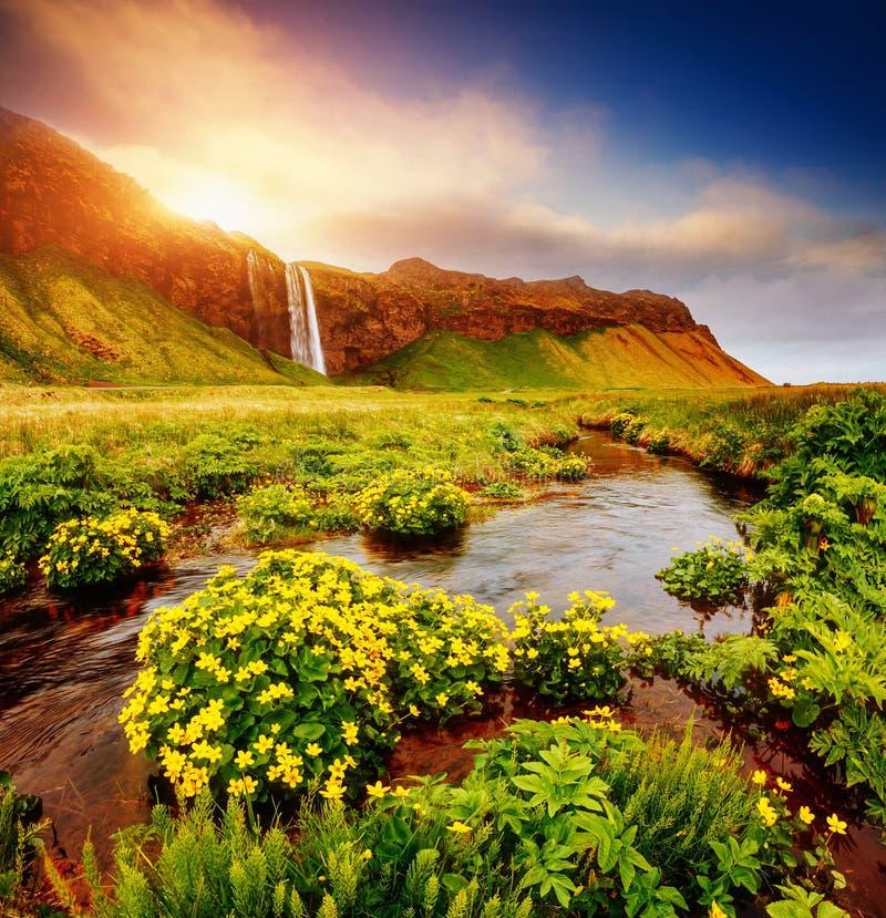 Симпатичный взгляд зацветая зеленого поля Место Seljalandfos положения стоковая фотография rf