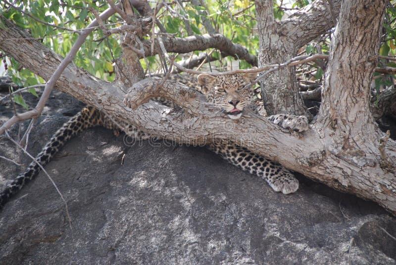 Симпатичный леопард стоковые фото