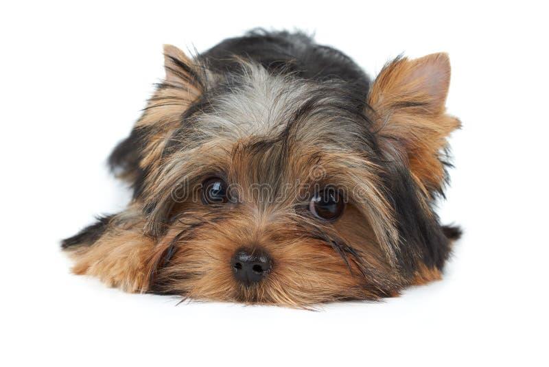 Симпатичный малый щенок стоковое фото rf