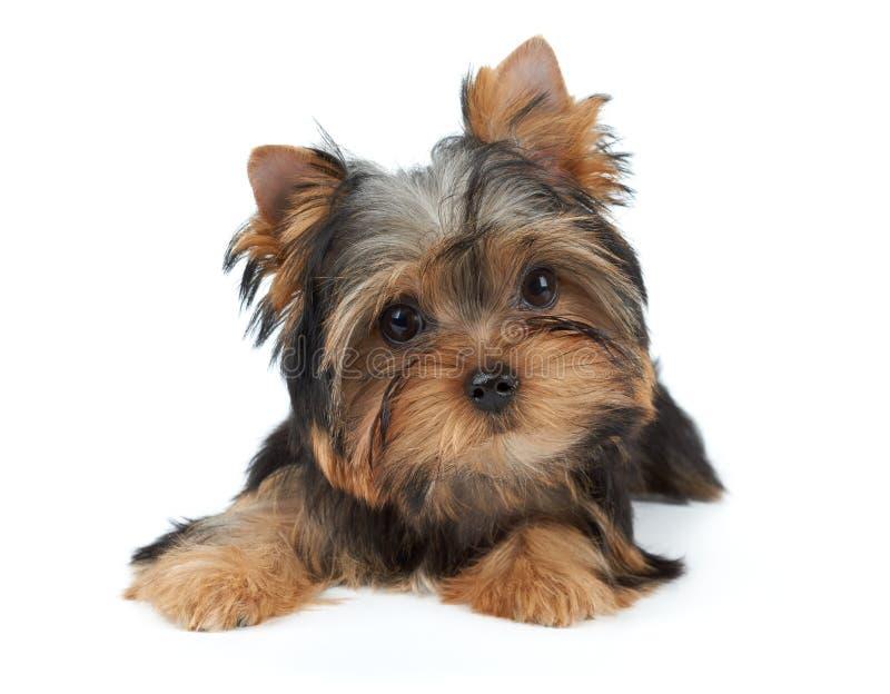 Симпатичный малый щенок стоковые фото