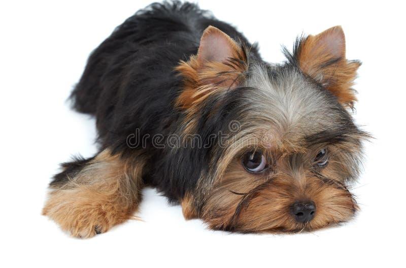 Симпатичный малый щенок стоковая фотография rf