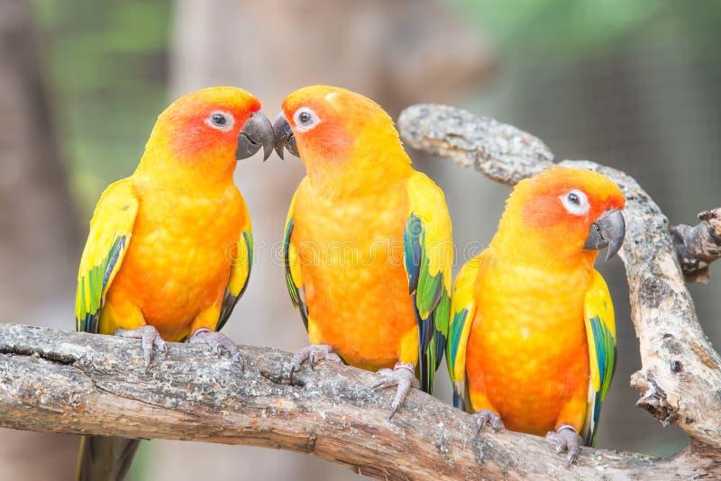 Симпатичный попугай Солнця Conure на окуне стоковые фотографии rf