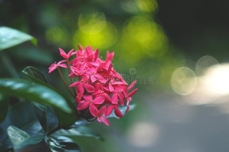 Симпатичный розовый цветок Ixora стоковые изображения rf