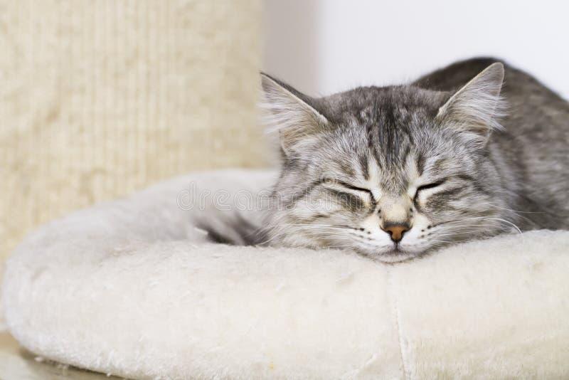 Симпатичный серебряный кот в доме, женская сибирская порода на thescra стоковая фотография rf