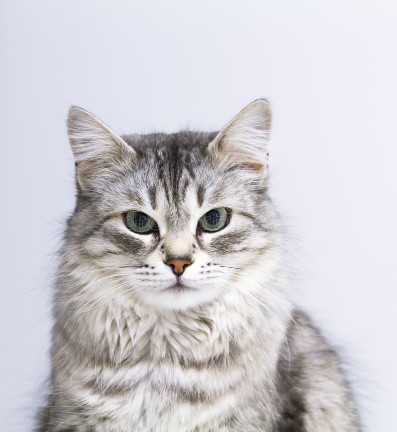 Симпатичный серебряный кот в доме, женская сибирская порода стоковые фотографии rf