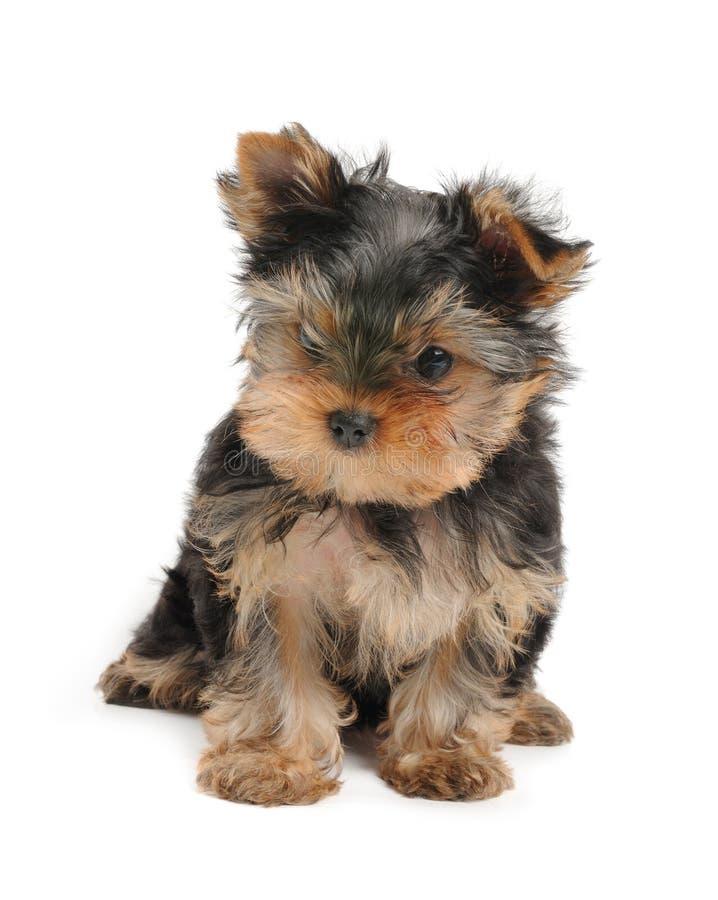 Симпатичный щенок стоковое фото rf