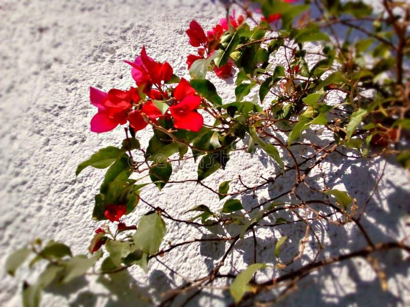 Симпатичный Res цветет на буксире стоковое изображение