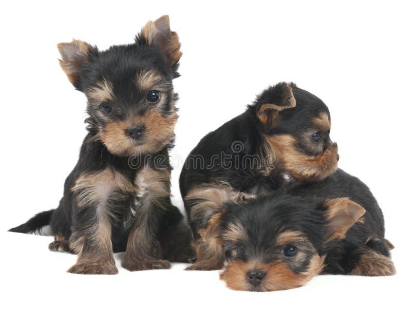 3 симпатичных щенят стоковые фотографии rf