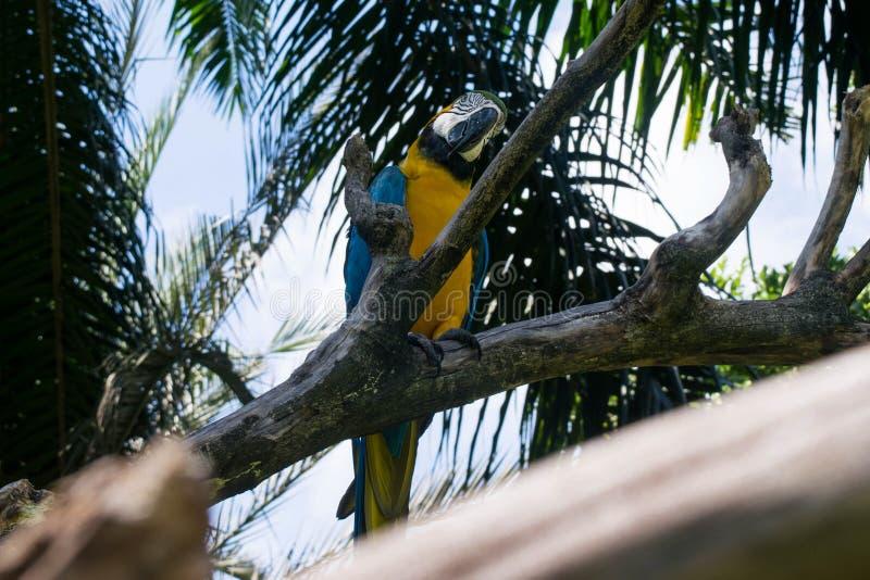 Сине-желтый попугай ары сидя на ветви стоковая фотография