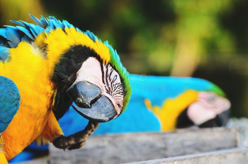 Сине-и-желтая ара известная как Arara-caninde в Бразилии стоковое фото rf