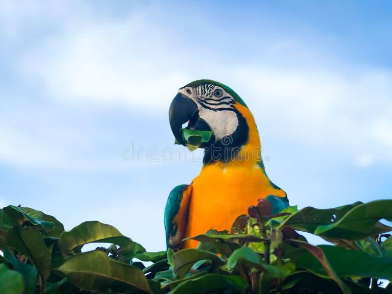 Сине-и-желтая ара на команде высокого дерева как небо предпосылки яркое стоковые изображения