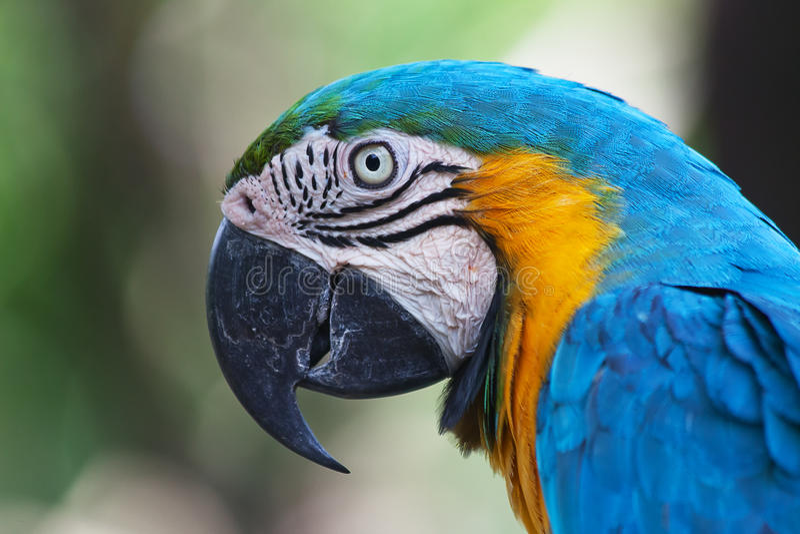 Сине-и-желтая ара (ararauna Ara) стоковые фотографии rf