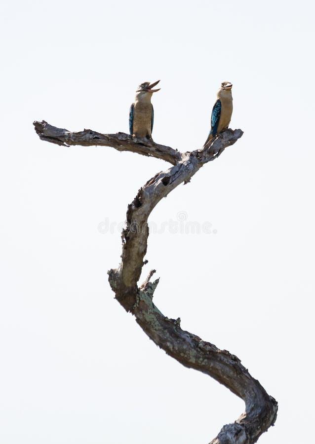 Сине-подогнали Kookaburras смеясь над на стволе дерева стоковая фотография