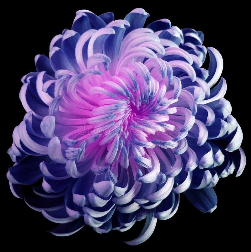 Сине-розовая хризантема цветка Пестрый цветок сада почерните изолированную предпосылку с путем клиппирования никакие тени closeup стоковое изображение