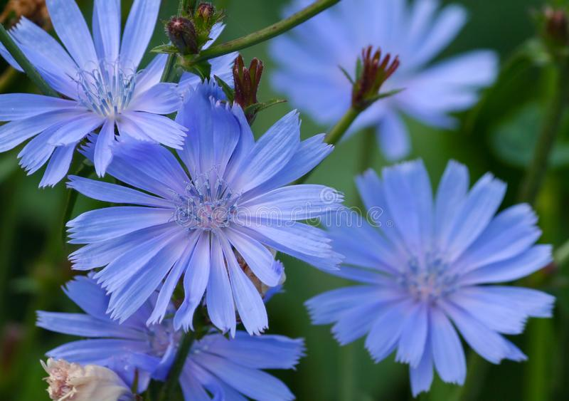 Сине-сирень цветет конец-вверх цикория 5 частей стоковые фото
