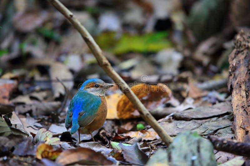 Сине--rumped Pitta стоковые изображения