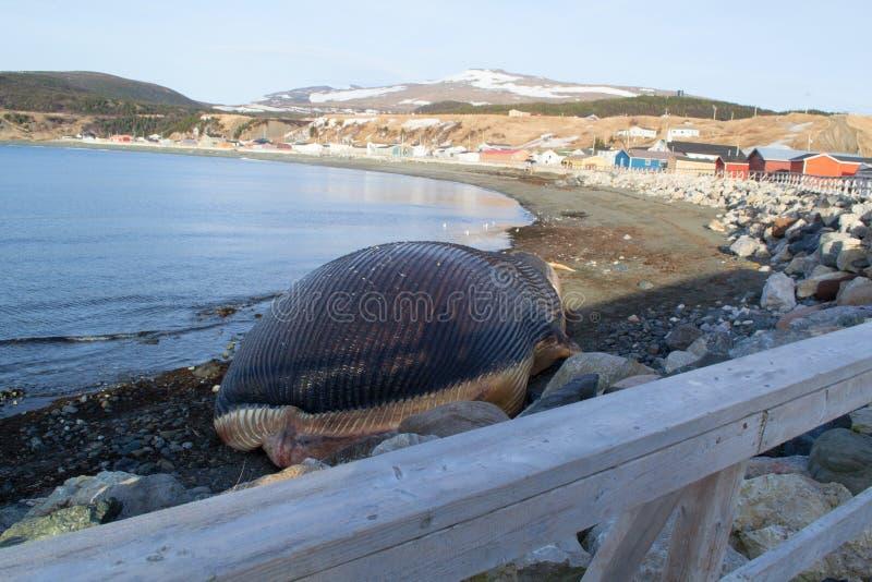 Синий кит в реке форели стоковые изображения rf
