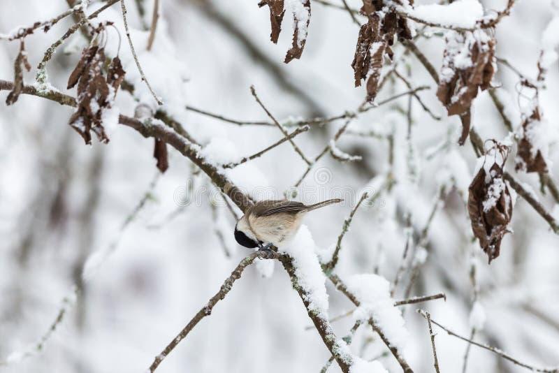 Download Синица болота на снежной ветви дерева Стоковое Изображение - изображение насчитывающей листья, напольно: 81815099