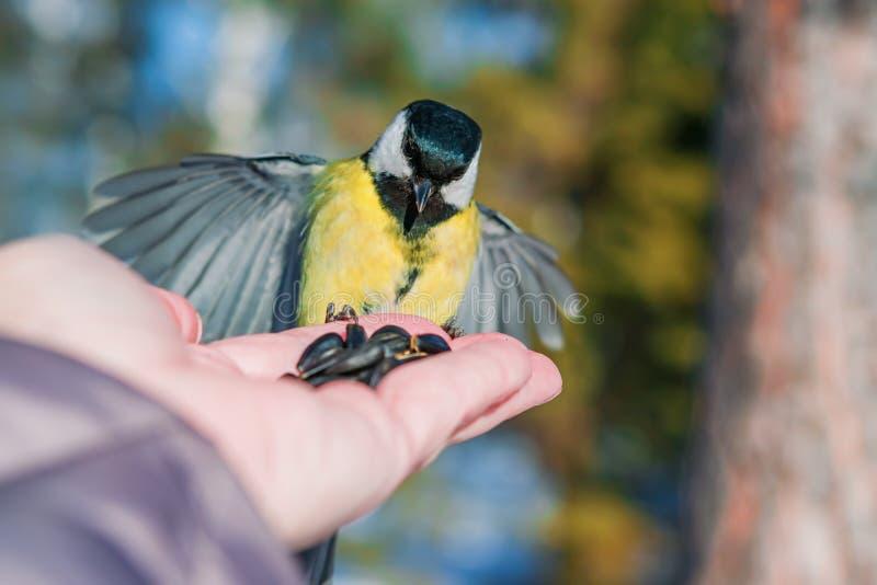 Синица птицы сидит на ладони человека с семенами, концепции заботить для животных в природе в зиме, стоковые фотографии rf