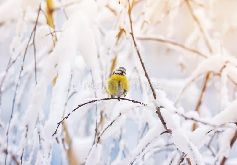 Синица птицы Sweetie голубая сидит в лесе зимы рождества среди стоковое изображение