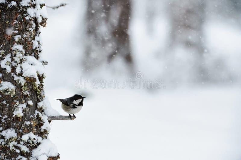Синица угля в зиме пока оно идет снег стоковые фотографии rf