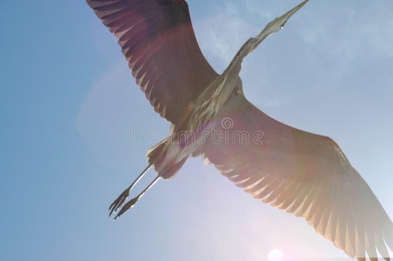 синь летает большая цапля наверху стоковое изображение rf