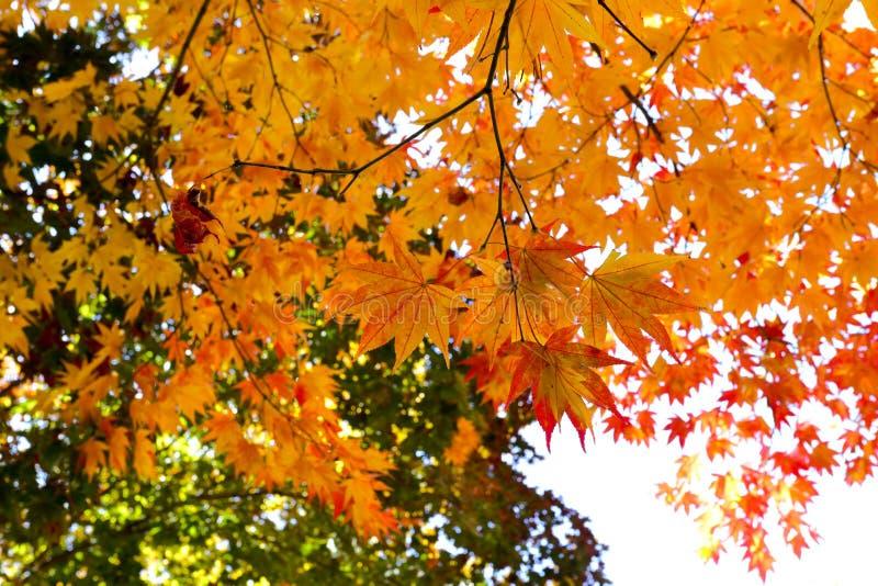 синь осени красит желтый цвет зеленого клена померанцовый стоковые изображения