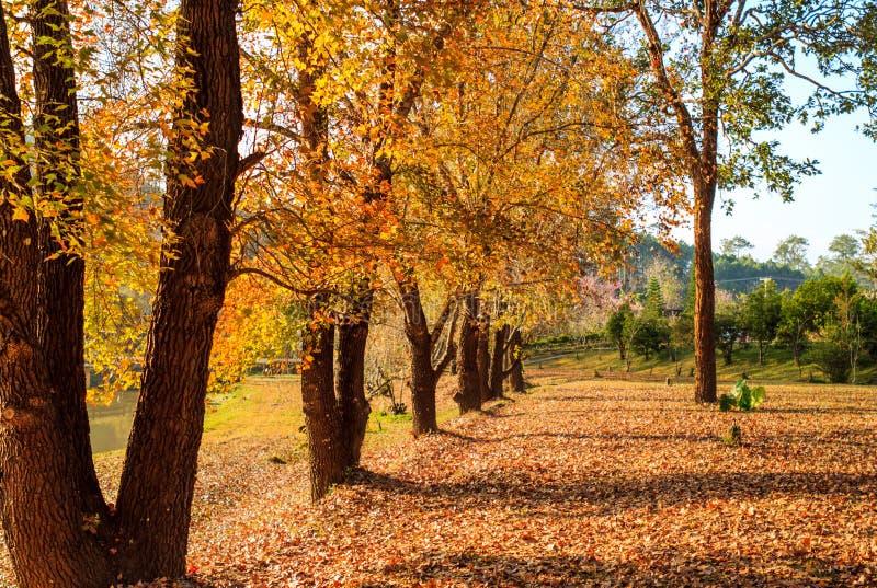 синь осени красит желтый цвет зеленого клена померанцовый стоковое фото rf