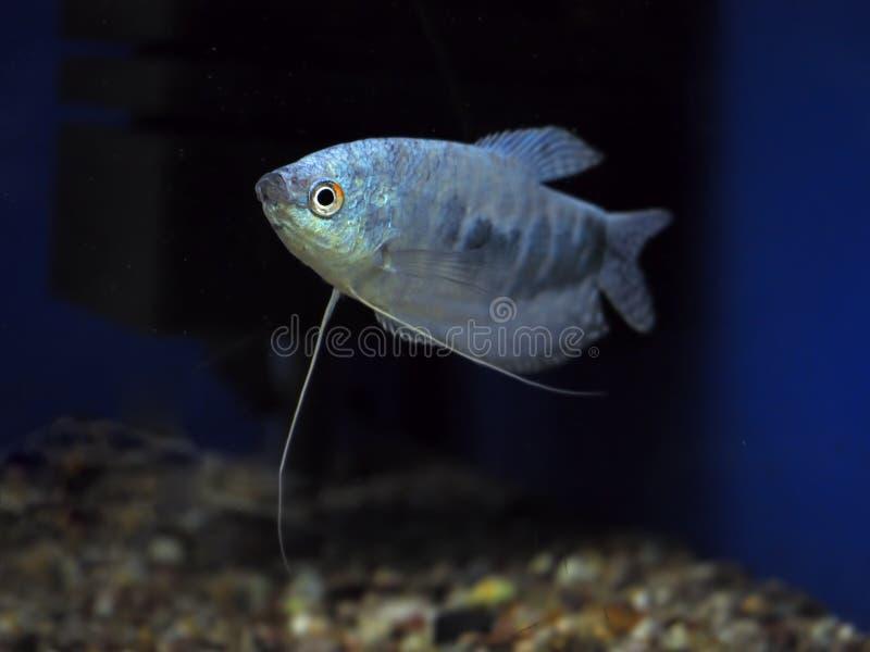Синь осфронемовых microlepis Trichogaster рыб стоковые фото