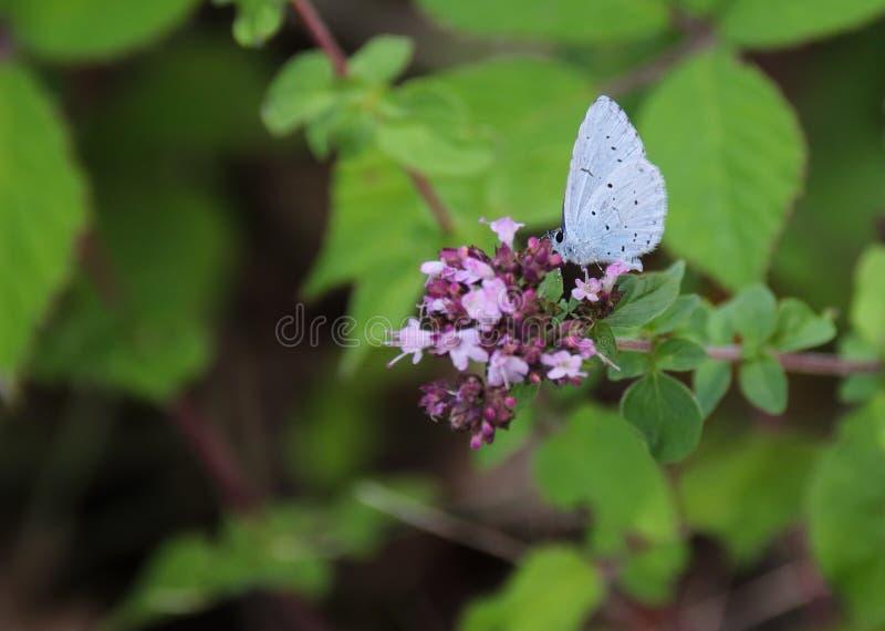 Синь падуба, argiolus Celastrina стоковое фото