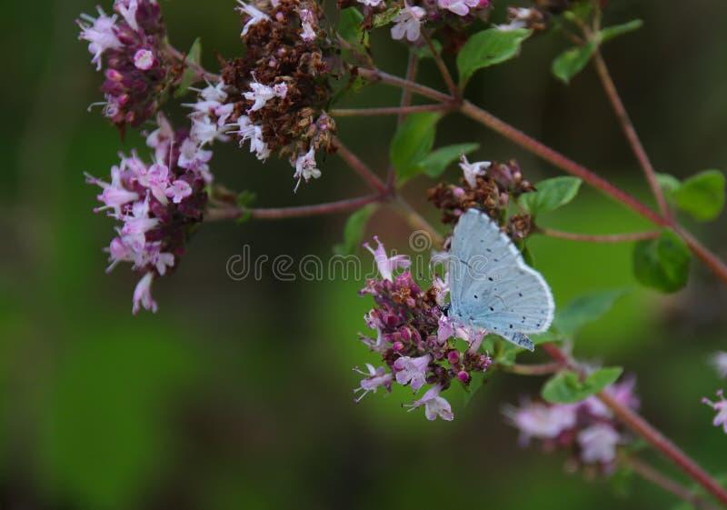 Синь падуба, argiolus Celastrina стоковое фото rf