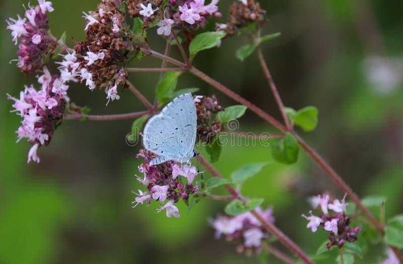 Синь падуба, argiolus Celastrina стоковая фотография