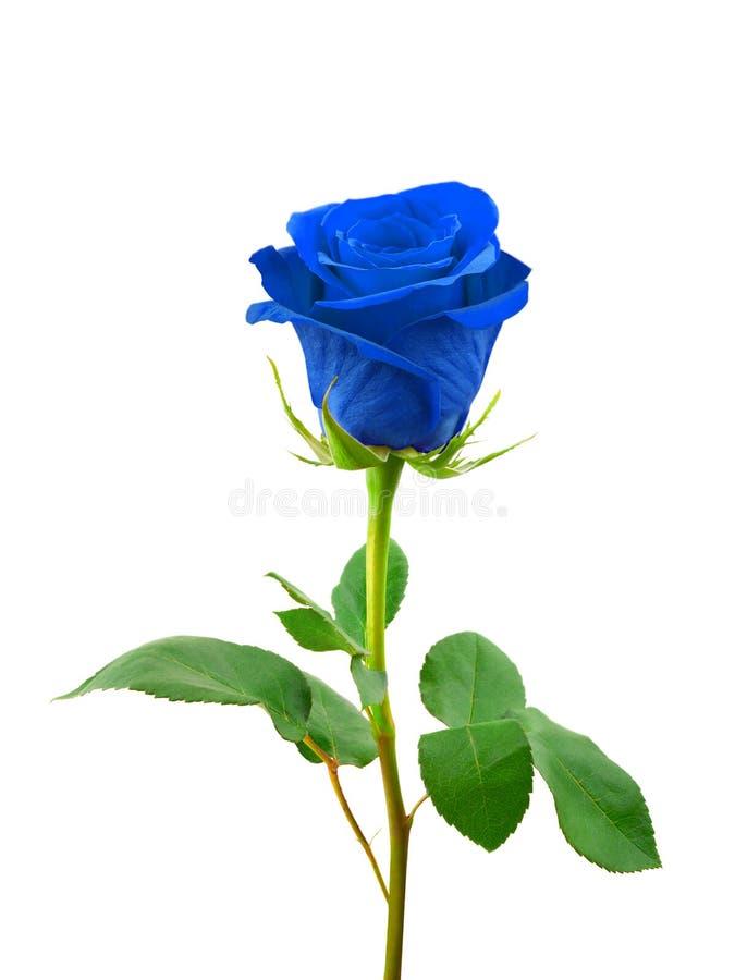 синь подняла стоковое изображение