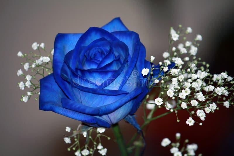 синь подняла стоковое изображение rf