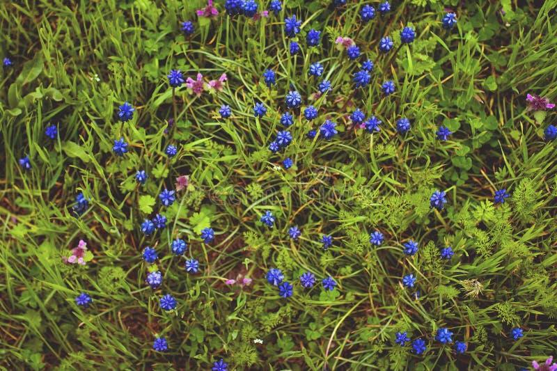 Синь цветет Muscari или murine бутоны и листья гиацинта стоковые фото