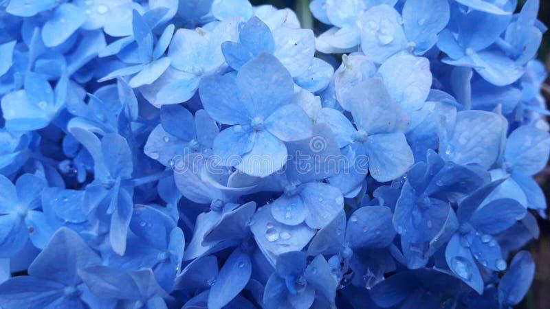 Синь цветка стоковое фото rf