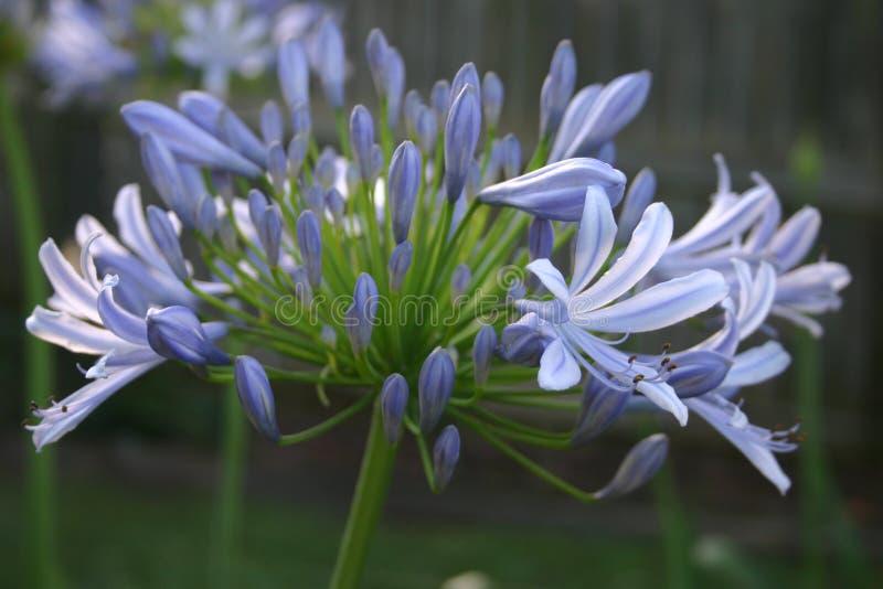 синь agapanthus стоковая фотография rf