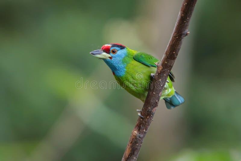 синь barbet throated стоковая фотография rf