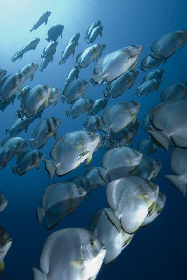 синь batfish стоковые изображения rf
