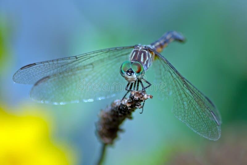 Синь Dasher Dragonfly стоковая фотография rf