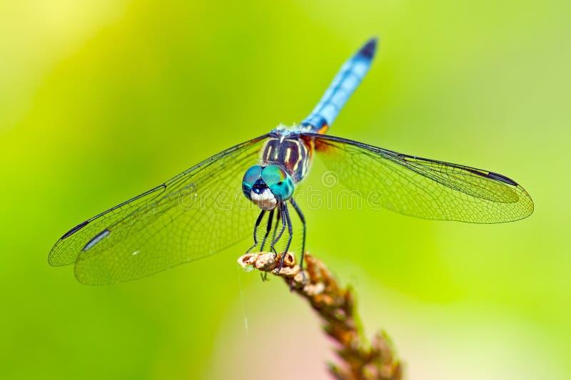Синь Dasher Dragonfly стоковое изображение rf