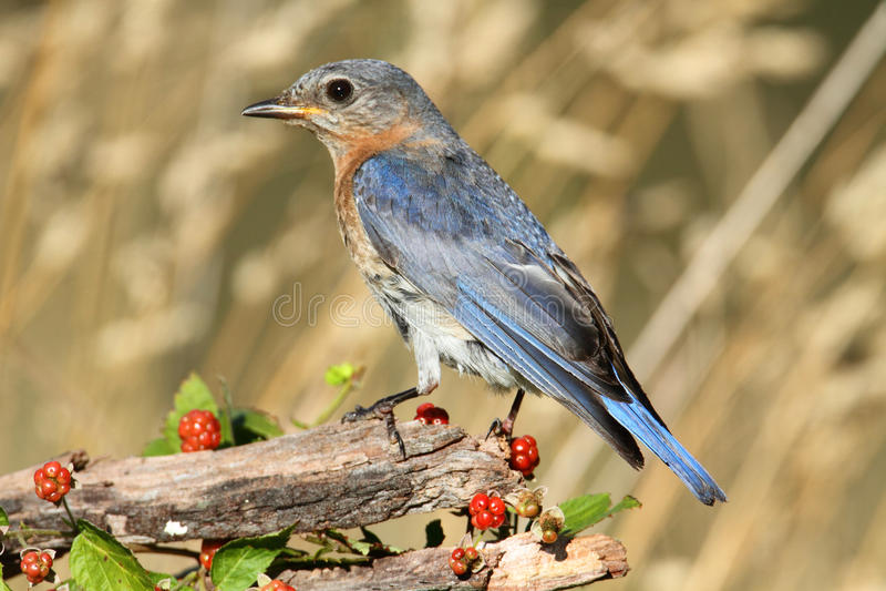 синяя птица восточная стоковые фотографии rf