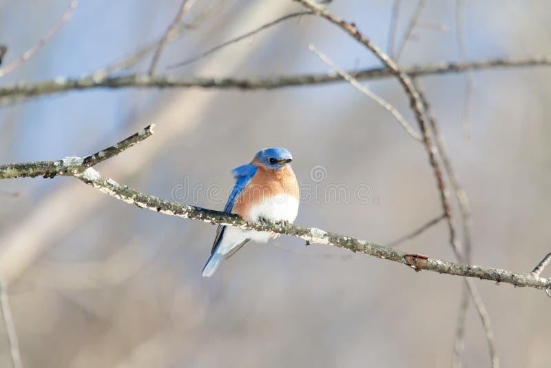 синяя птица восточная стоковое изображение