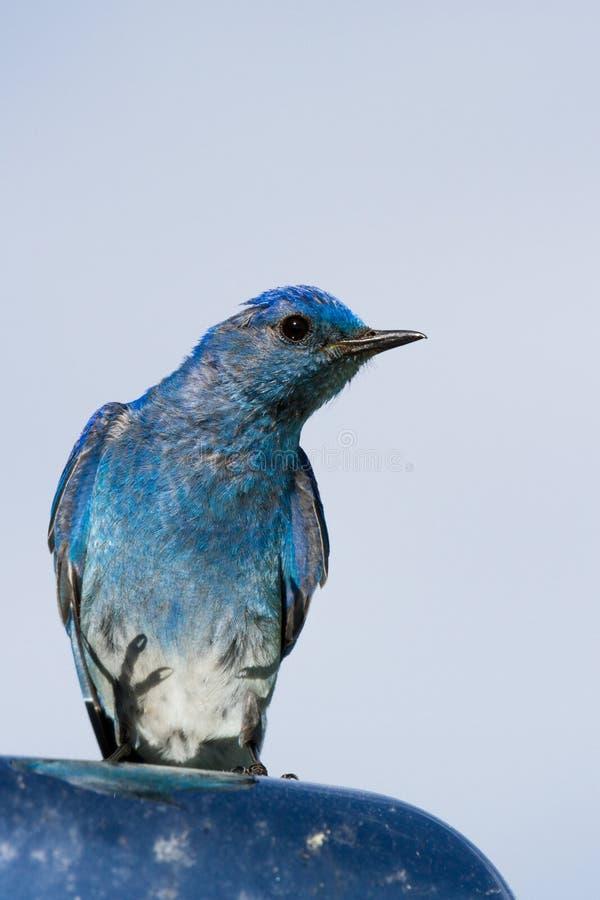 Синяя птица горы стоковое фото