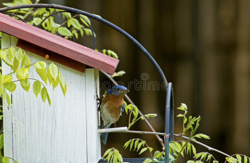 Синяя птица заканчивать ее яичка в коробке вложенности. стоковое фото