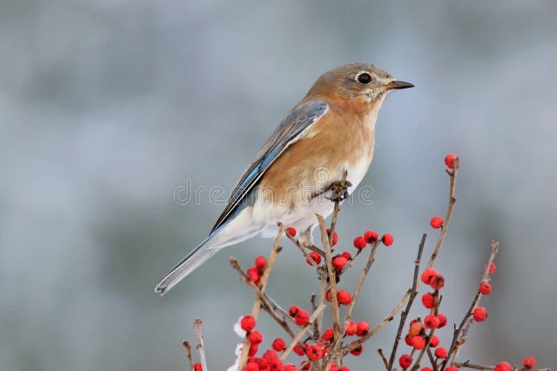 Синяя птица зимы стоковое фото