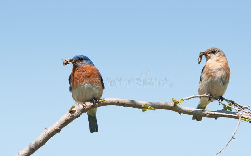 Синяя птица мамы и папаа восточная с насекомыми в их клювах стоковое изображение