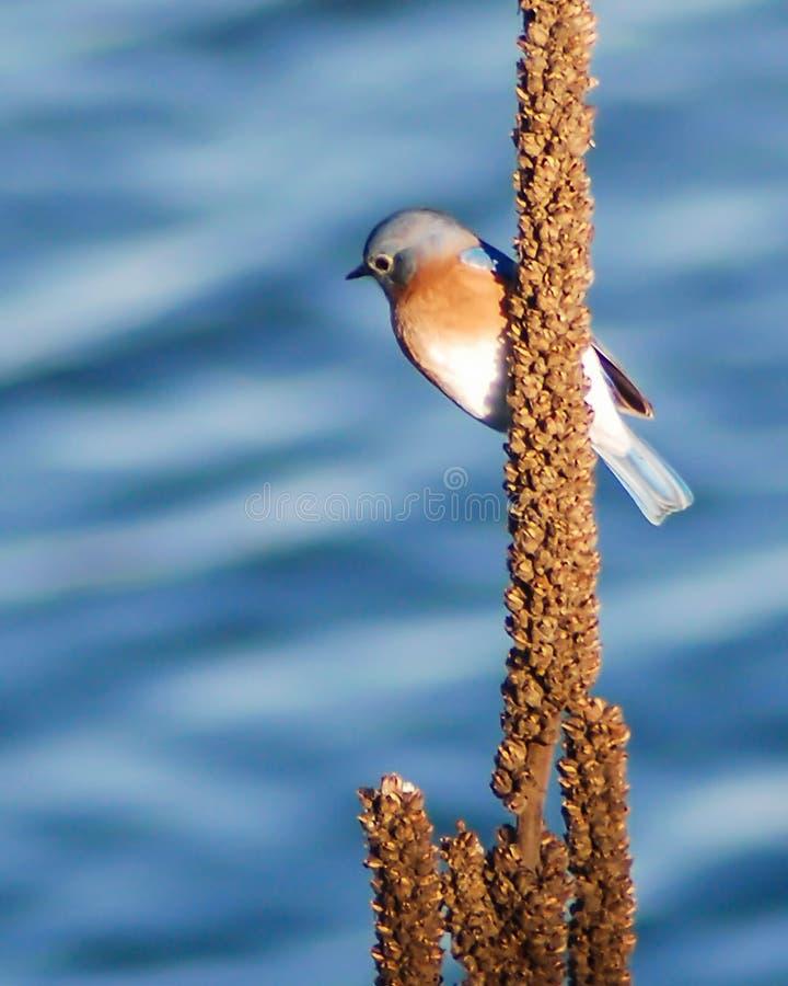 Синяя птица озером стоковые фото