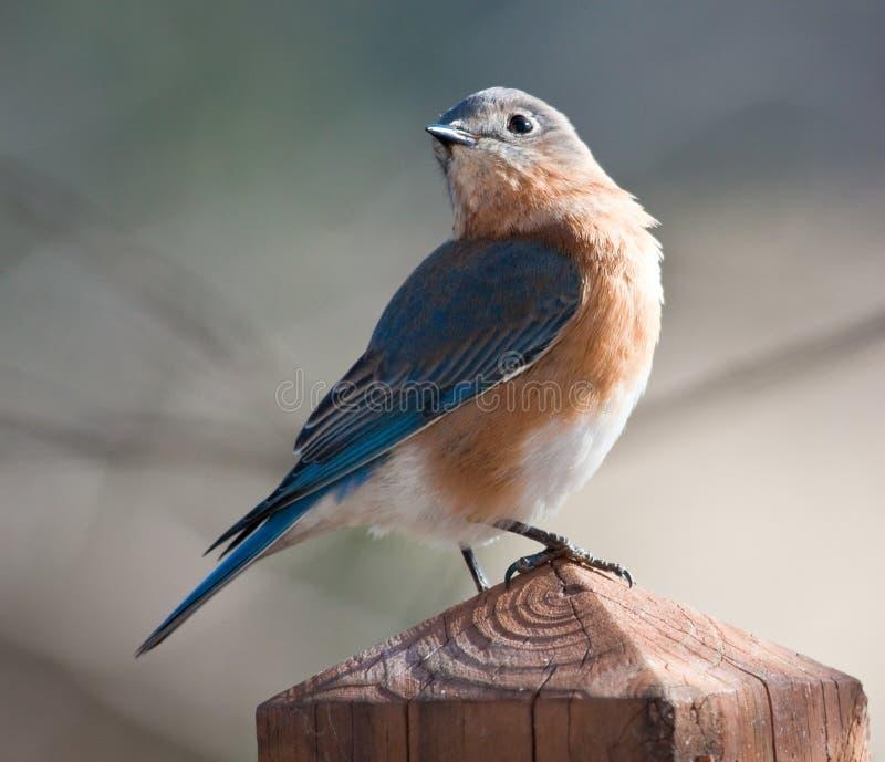 синяя птица самолюбивая очень стоковые фото
