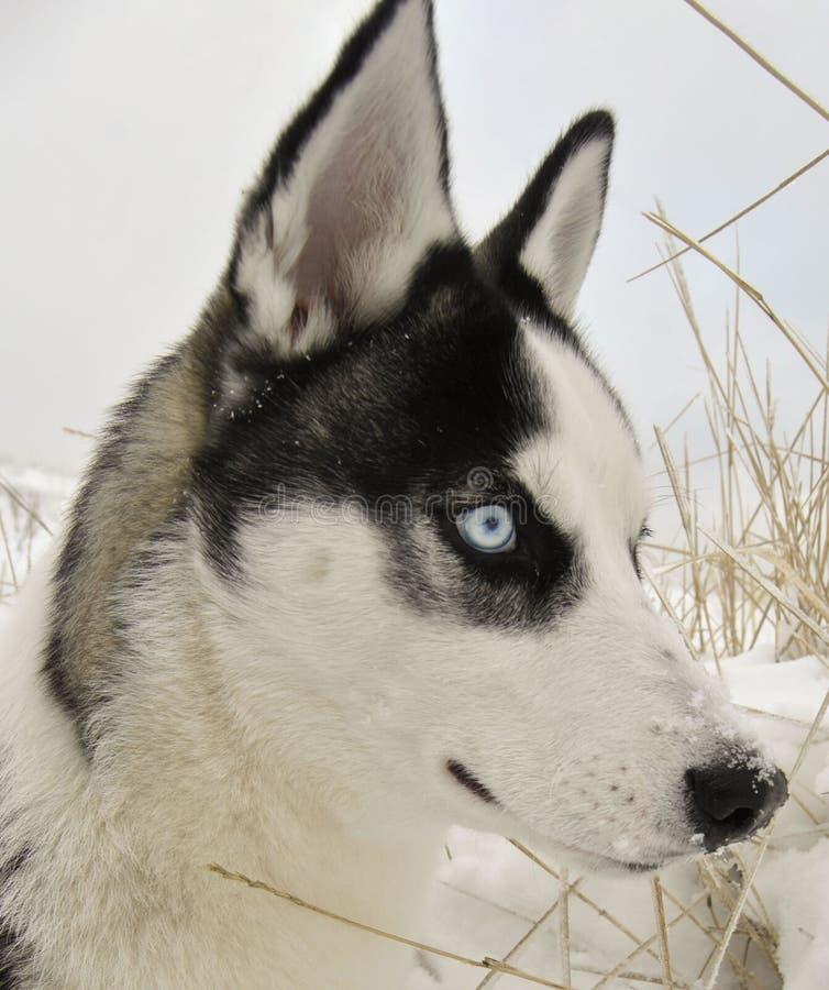 сиплая собака стоковое фото